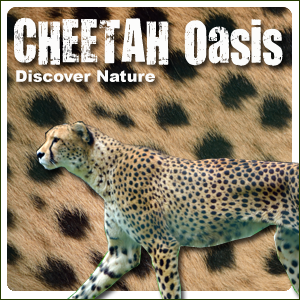 Cheetah Oasis