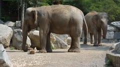 elefante indiano parco le cornelle