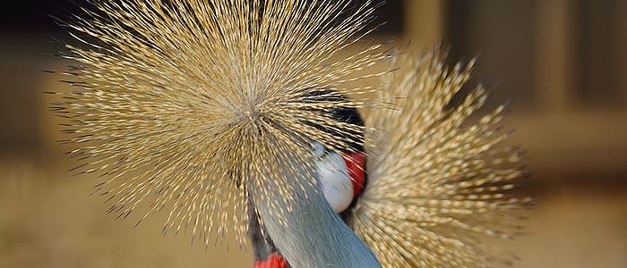 Gru coronata