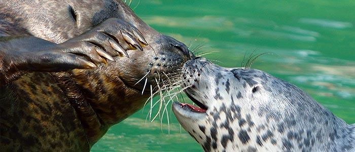 foca comune