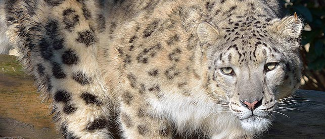 leopardo delle nevi