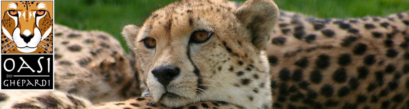 oasi-dei-ghepardi-parco-faunistico-le-cornelle01