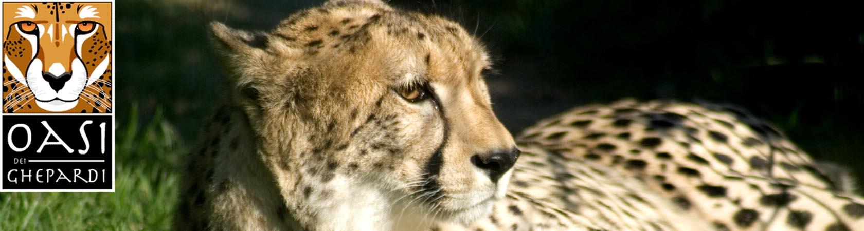 oasi-dei-ghepardi-parco-faunistico-le-cornelle02