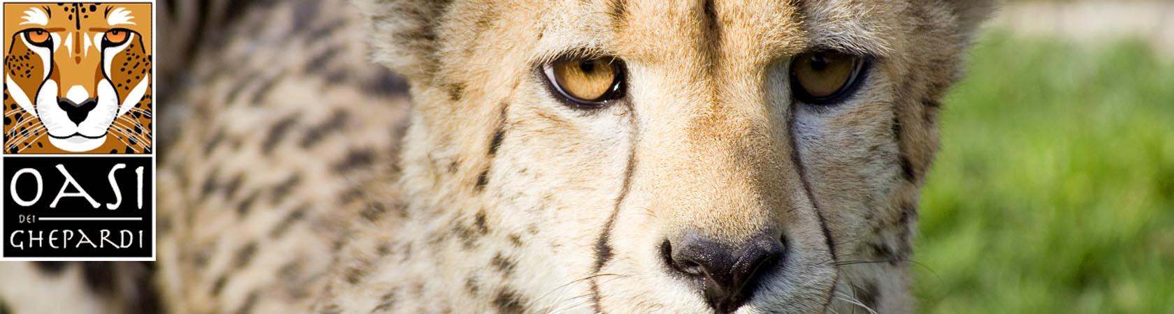oasi-dei-ghepardi-parco-faunistico-le-cornelle05