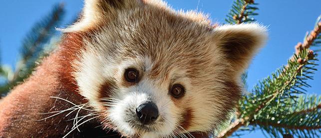 panda minore