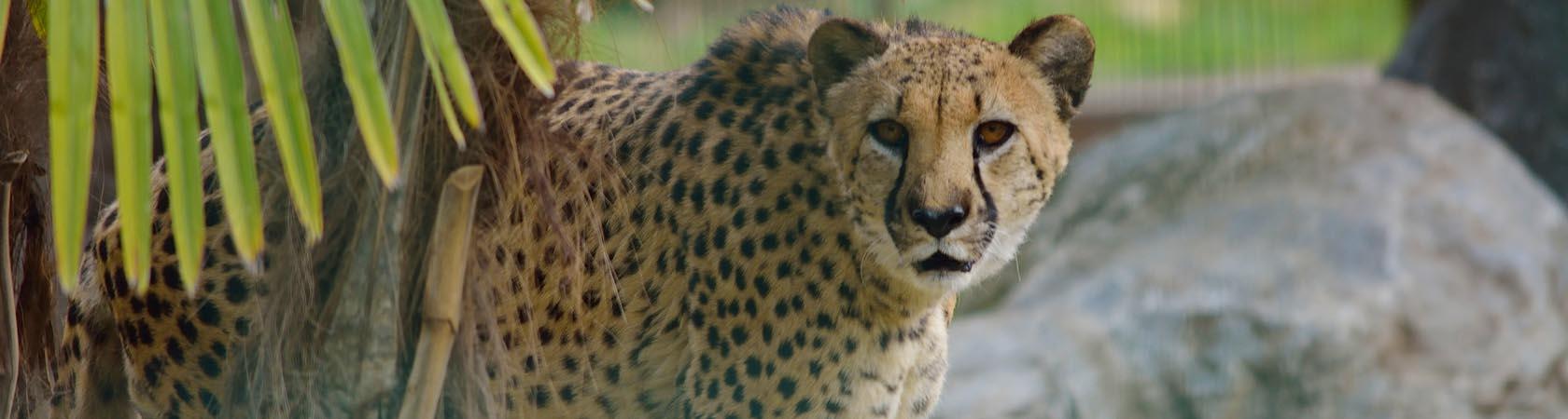 ricerca-ghepardo-parco-faunistico-le-cornelle-leonardodelfin