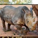 Rinoceronte bianco
