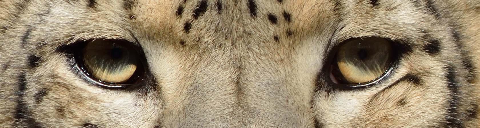 show-leopard-trust-parco-faunistico-le-cornelle-leonardodelfini02
