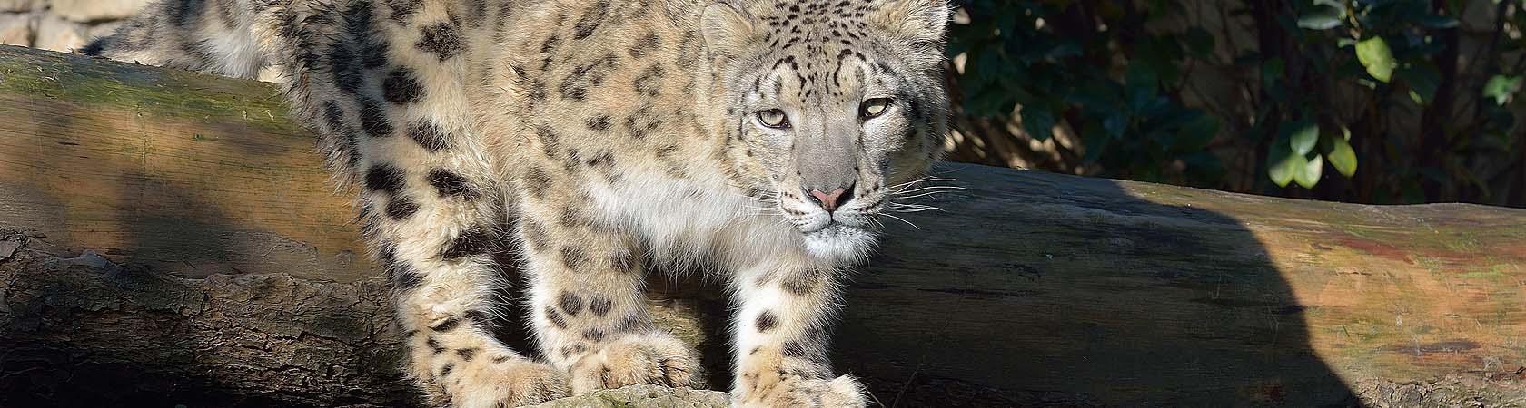 show-leopard-trust-parco-faunistico-le-cornelle-leonardodelfini04