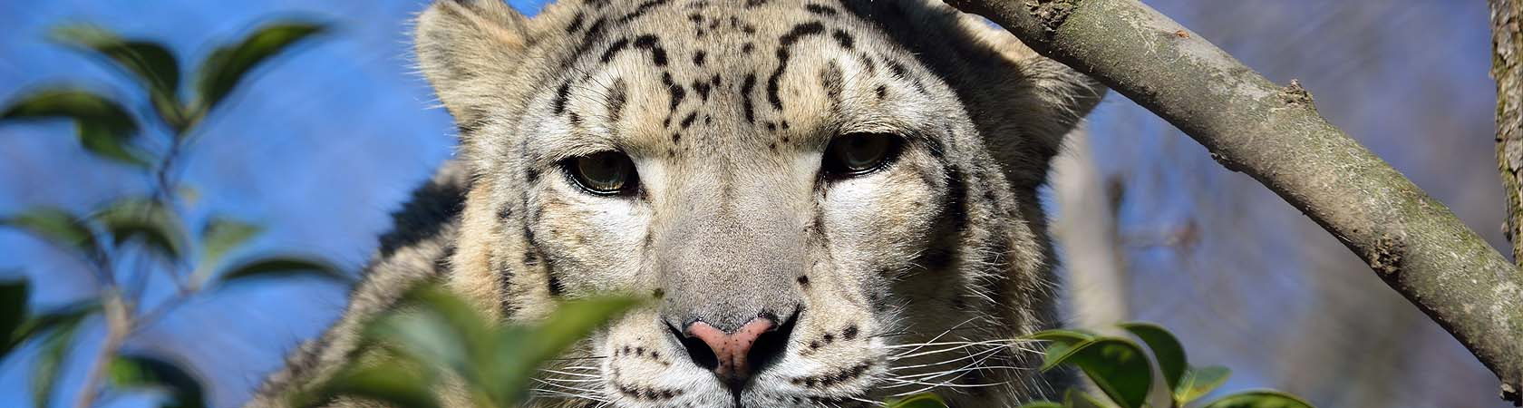 show-leopard-trust-parco-faunistico-le-cornelle-leonardodelfini05