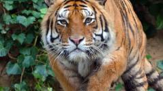 tigre-siberiane-parco-faunistico-zoo-le-cornelle-leonardo-delfini-big