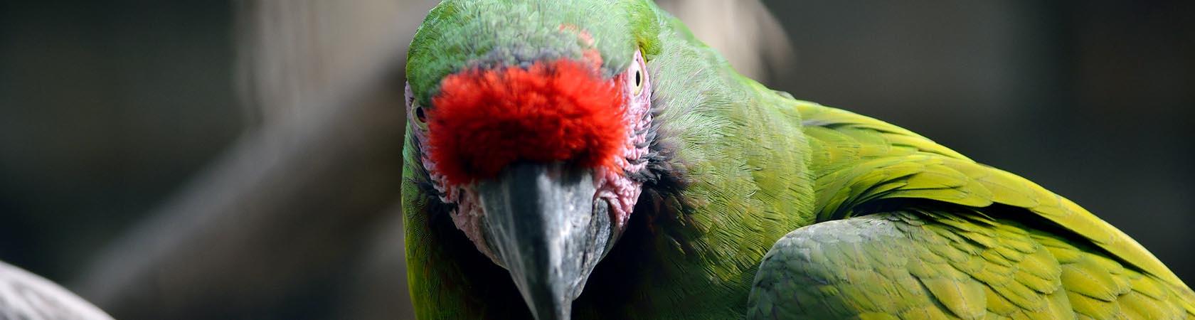 pappagallo-militare-parco-faunistico-le-cornelle-leonardodelfini01