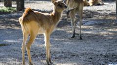 Antilope di Maria Gray