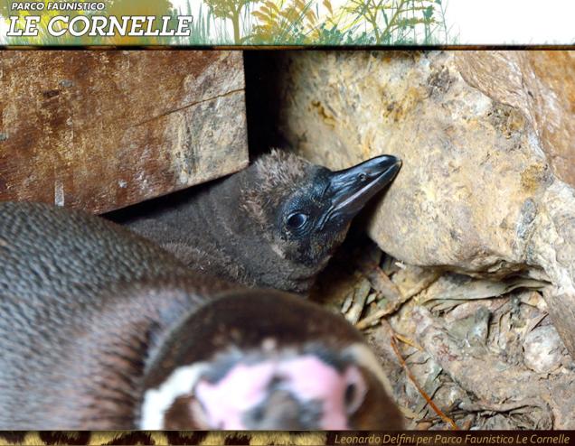 Nuovo cucciolo di Pinguino