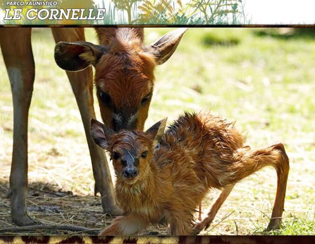 cucciolo sitatunga le cornelle 2015