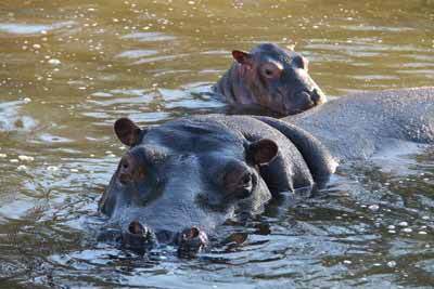 Baby-Hippo-pressroom2