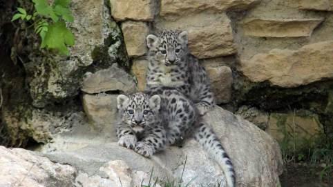 cuccioli-leopardidellenevi