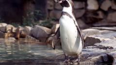 Pinguino di Humboldt
