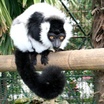 Lemure variegato bianco e nero