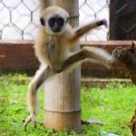Gibbone dalle mani bianche