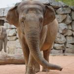 elefante indiano