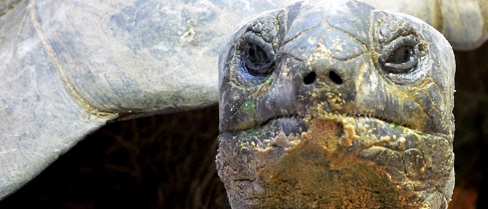 tartaruga delle seychelles