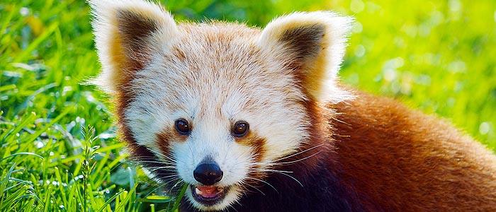 panda-minore-parco-faunistico-zoo-le-cornelle-leonardo-delfini