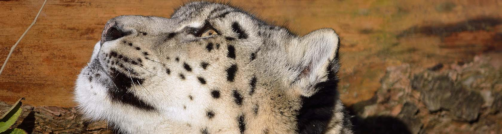 Show Leopard Trust