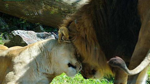 leone parco faunistico le cornelle Leonardo Delfini
