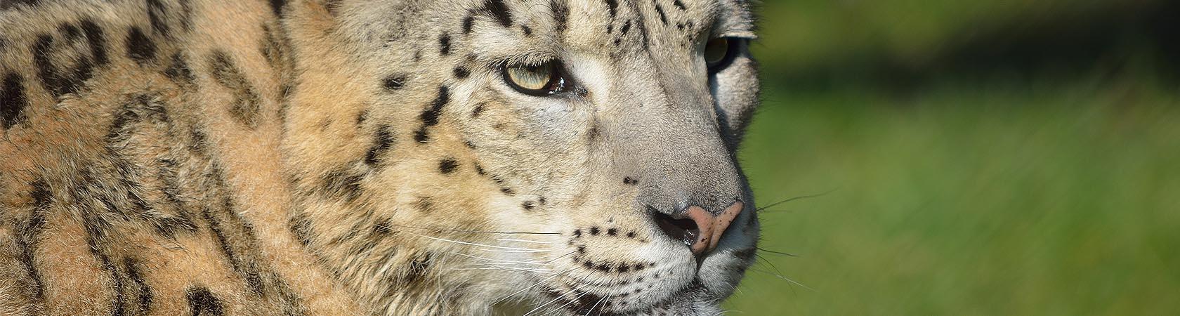 ricerca-leopardo-delle-nevi-parco-faunistico-le-cornelle-leonardodelfin