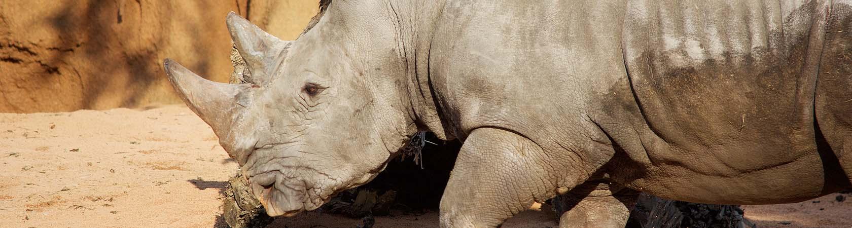 rinoceronte-parco-faunistico-le-cornelle-leonardo-delfini
