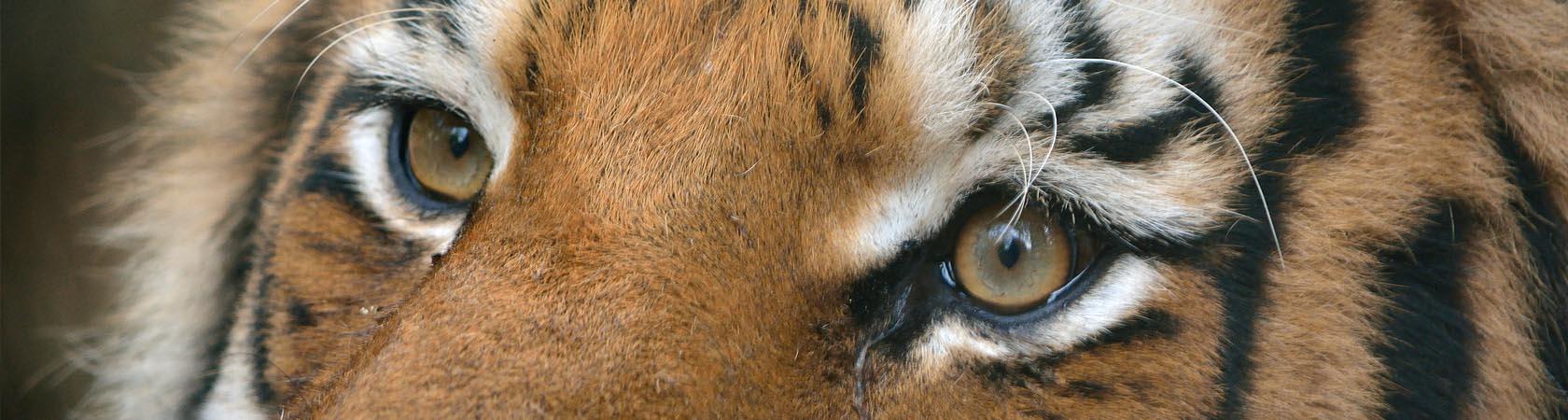tigre-siberiana-parco-faunistico-le-cornelle-leonardodelfini01