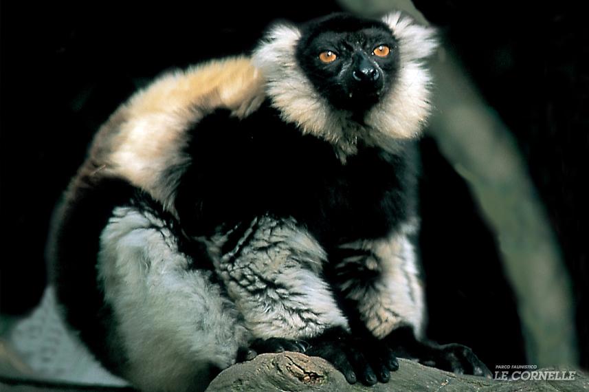 Lemure variegato