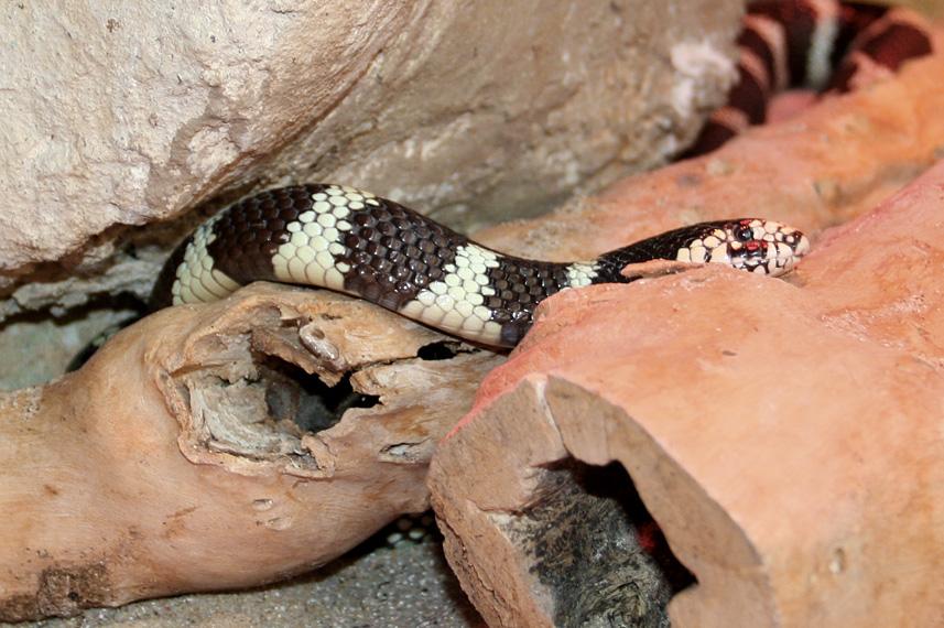 Serpente del latte