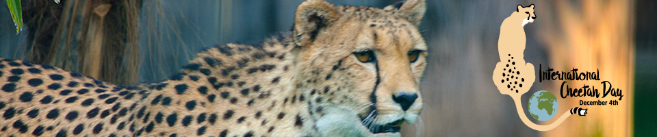 International Cheetah Day.